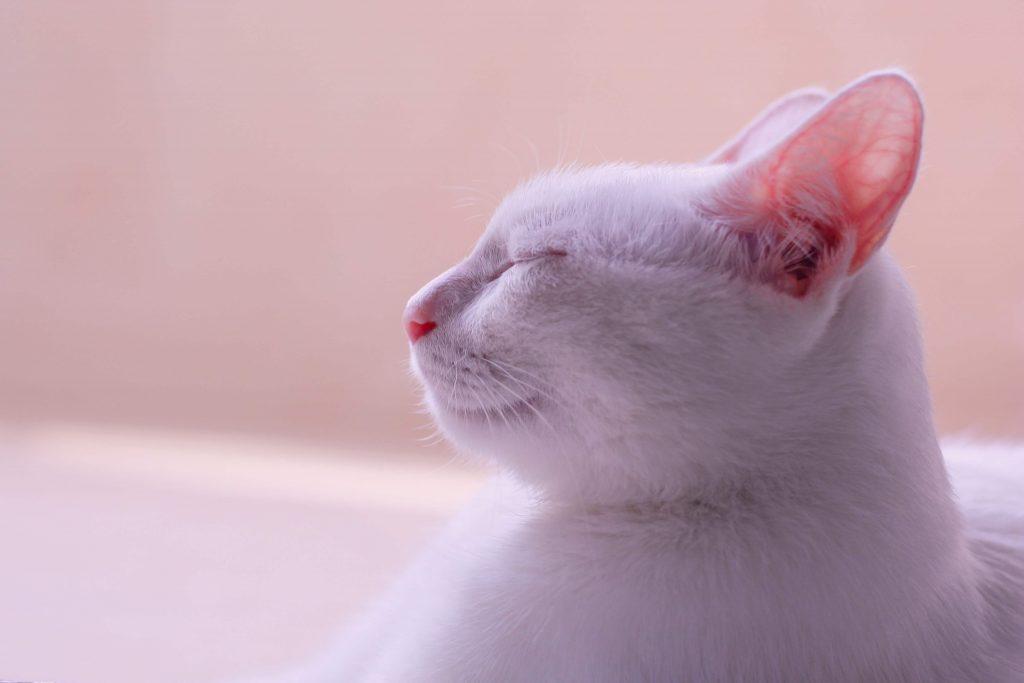 Biały kot z zamkniętymi oczami